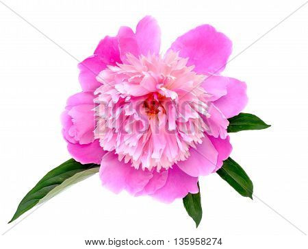 Peony flowers isolated on white background with leaf.