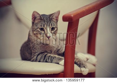 The thoughtful striped cat lies on a chair.