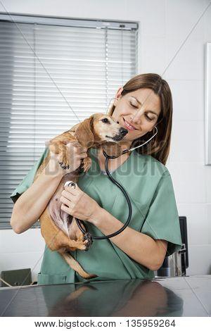 Vet Examining Dachshund With Stethoscope