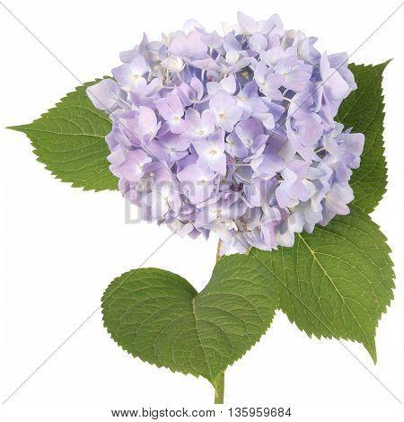 Purple flower hydrangea on white background. Clipping path inside