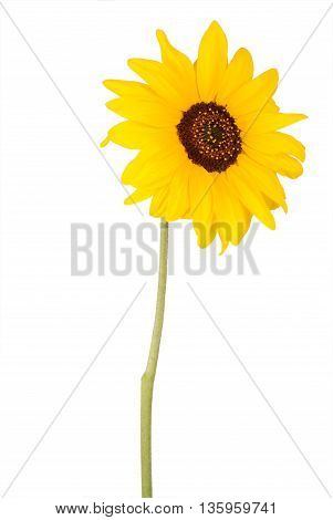 Beautiful sunflower rotated 45 degrees to the right isolated on white