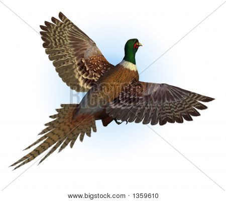Ring-Necked Pheasant Flying