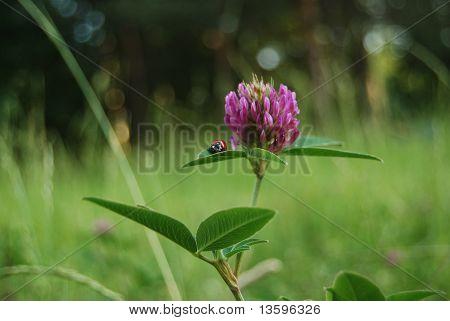 Ladybird on a clover