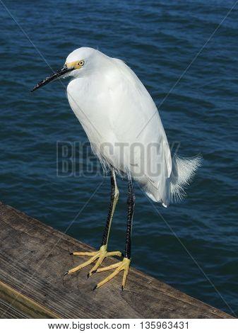 Snowy Egret Perched on Naples, Florida Pier