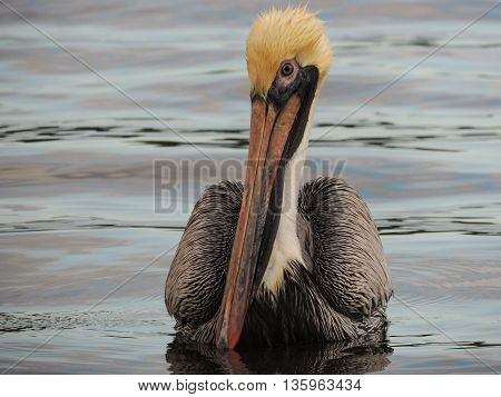 Close Up of Brown Pelican Floating on Water