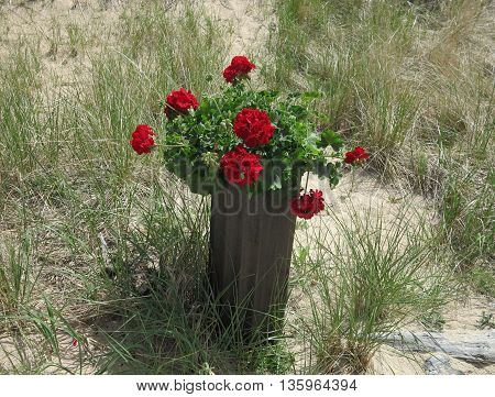 Geraniums in wooden vase with sand backdrop