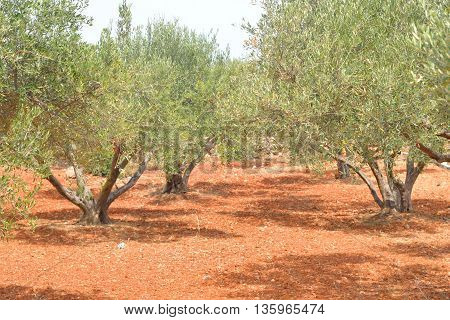Summer landscape with olive grove in Crete Greece.