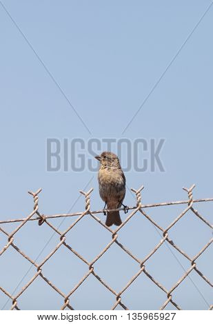 Female house finch bird with a brown body sits on a fence ready to fly off at a marsh in Southern California in the United States