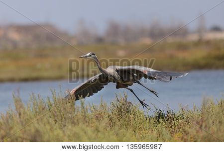 Great blue heron bird, Ardea herodias, flies over the marsh in Huntington Beach, California, United States