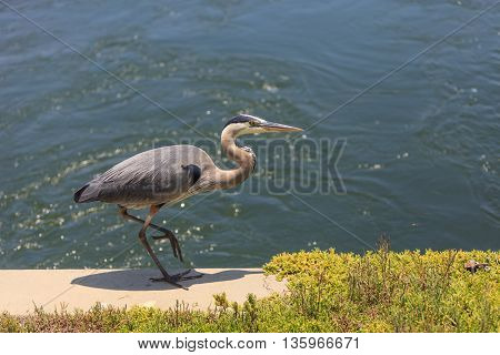 Great blue heron bird, Ardea herodias, in the wild, foraging in a lake in Huntington Beach, California, United States