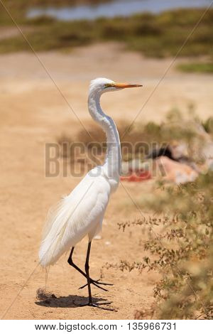 Great egret bird, Ardea alba, stands in a salt marsh in the upper Newport bay in Newport Beach, California, United States.