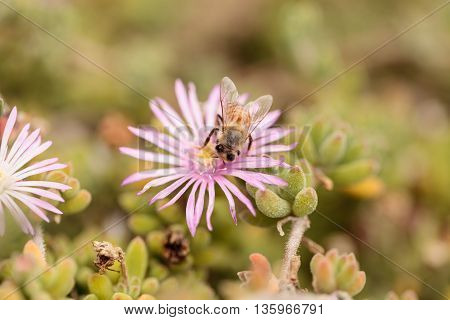 Honeybee Apis mellifera gathers nectar from an ice plant succulent flower along the ground in spring.