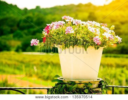 beautiful red and pink flower white pot in warm light