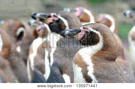 Herd of Humboldt Penguins (Spheniscus humboldti) in zoo