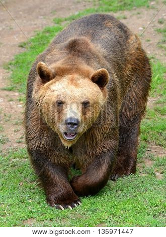 Big Brown Bear (Ursus arctos) wildlife photo