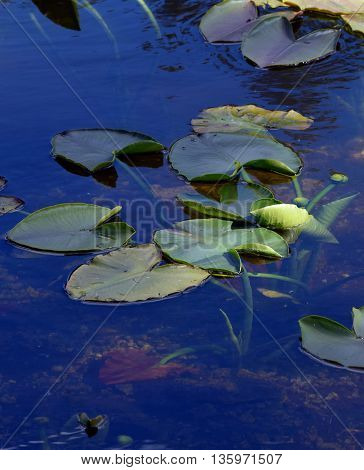 lily pads on the surface of a blue pond