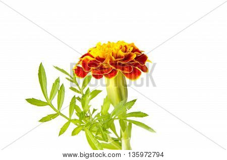 flower orange marigold isolated on white background