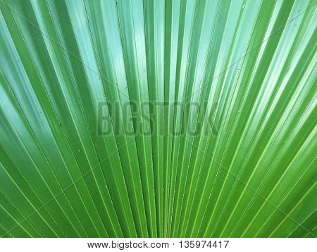 texture of Palm leaves and abstract nature background