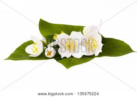 Jasmine flowers with leaves isolated on white background.