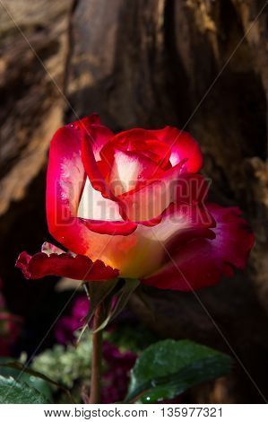 Beautiful Rose Blossom In Front Of Dark, Wooden Background.