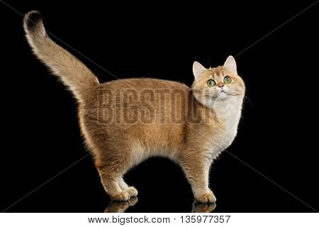 Funny British Cat Gold Chinchilla color with Green eyes Standing and Curious Looks, Raising up Tail, Isolated Black Background, Side view