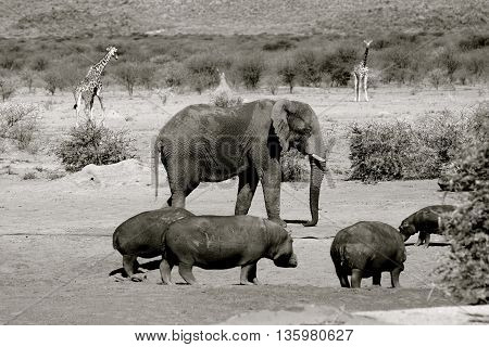 monochrome of elephant, hippos and a giraffe in the background on the african savannah