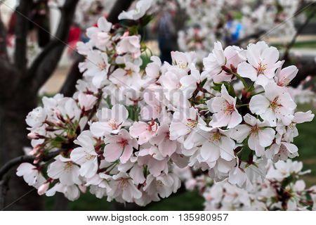 Cherry blossoms in Washington DC during peak season.