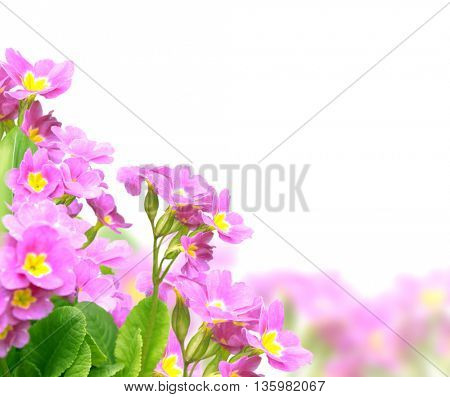 Spring flowers of lilac color. Isolated over white