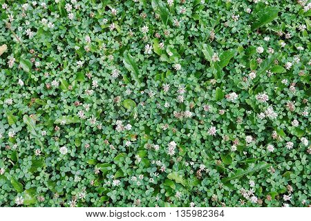 Background of white clover. The white clover grows on a meadow