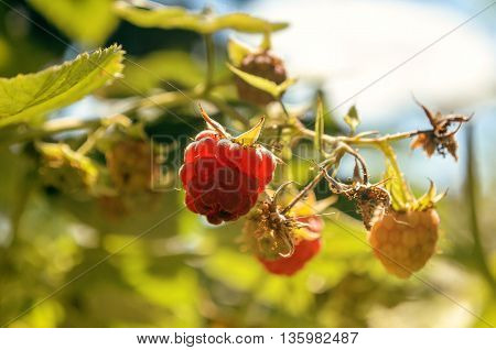 Raspberry berries on a branch against the sky. In the foreground - ripe berry of raspberry. On the average plan - unripe raspberry and foliage. On a background - foliage and the sky with clouds. Accent of attention to the foreground. Outdoors. Color. Hori