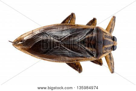 Closeup giant water bug on white background