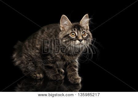 Cute crouched Kurilian Bobtail Kitty with Big Round eyes Curious Looking up, Isolated Black Background, Front view, Funny Cat Face, without tail