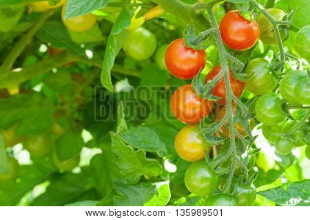 Homegrown cherry tomatoes in garden