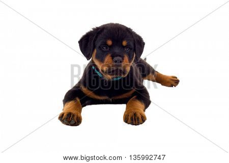 Little Rottweiler puppy dog, isolated on white background