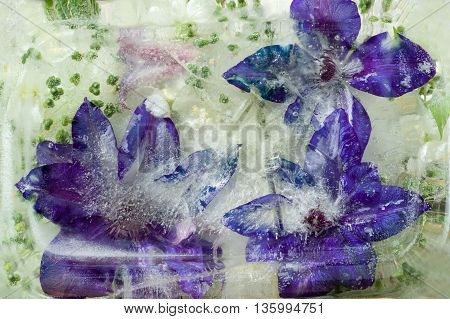 Frozen fresh beautiful flower of clematis and air bubbles in the ice cube