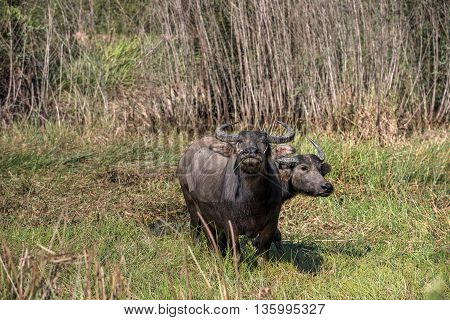 Water buffalo standing on green grass and looking to a me or you