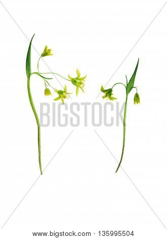 Pressed and dried flower on delicate gagea on stem with green leaves. Isolated on white background. For use in scrapbooking pressed floristry (oshibana) or herbarium.