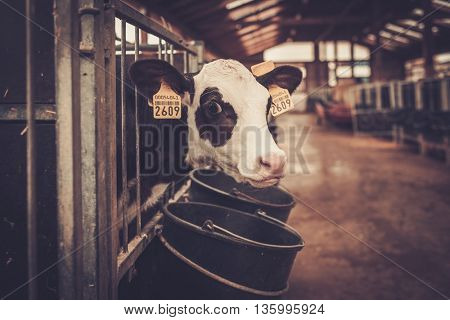 Calves in the cowshed in dairy farm.
