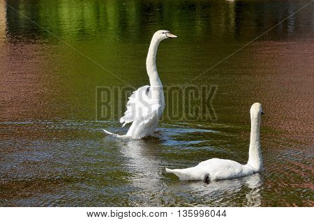 In lake Park you can look gracefulbeautiful white swans.