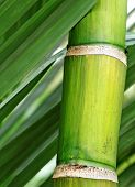 stock photo of bamboo forest  - fresh green bamboo - JPG