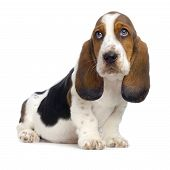 stock photo of basset hound  - basset hound puppy in front of white background - JPG