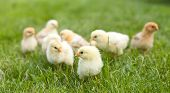Small Fluffy Chickens In The Grass poster