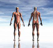 Постер, плакат: Оказание Ман мышцы от передней и задней