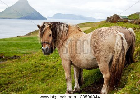 Horses on Faroe islands