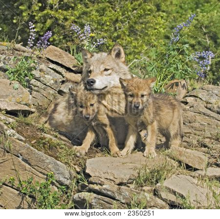 Gray Wolves At Den Site