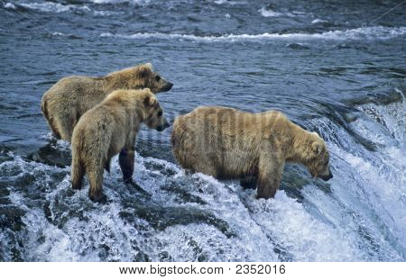 Grizzly With Her Twin Cubs Waiting For Migrating Salmon.