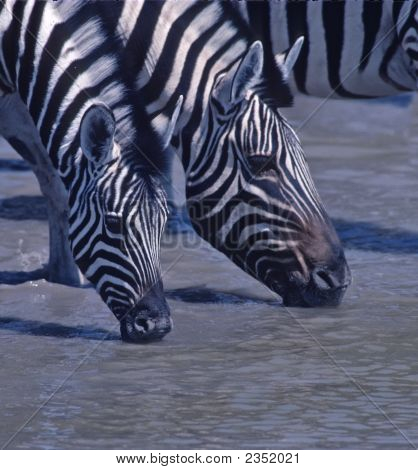 África-Zebras beber