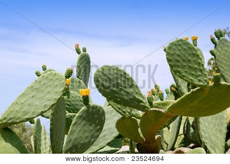 chumbera nopal cactus plant under mediterranean blue sky in Majorca