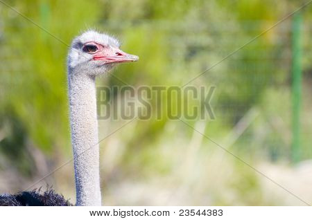 Image of an ostrich in african country