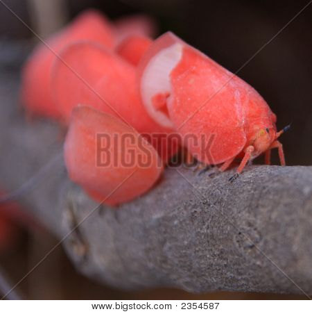 Flatid,Leaf,Bug,Pink,Adult